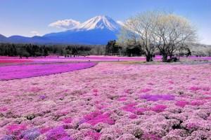 shibazakura-flower-festival-13-750x500